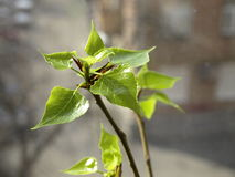 Spring. Blossom leaves. Royalty Free Stock Images