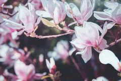 Spring blossom of magnolia. Outdoor nature stock photo