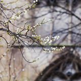 Spring blossom and medieval wall, Paris Royalty Free Stock Image