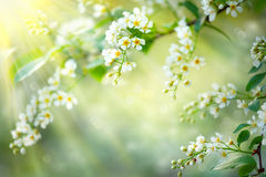 Spring blossom nature background Royalty Free Stock Image