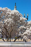 Spring blossom near Capitol Building (Capitol Hill). Stock Photography