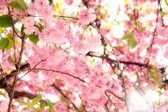 Spring blossom Paris Stock Image