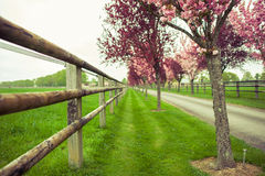 Spring Blossom. Pink blossoms in the French countryside in the south Royalty Free Stock Photo