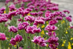 Spring blossom of pink tulips in park Stock Image