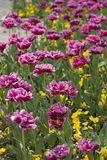 Spring blossom of pink tulips in park Stock Photography