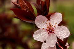 Spring blossom on a rainy day. Pink bloom of a flowering plum tree flower with water droplets Stock Photos