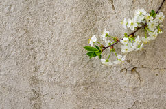 Spring Blossom on rustic background. Blooming branch of tree on rustic background Stock Photography