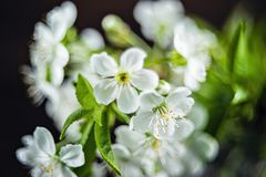 Spring blossom, selective focus, shallow DOF, bokeh background, pastel and soft card. Dark background white plant petal nature flower flora branch beautiful stock photo