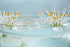 Spring blossom, selective focus, shallow DOF, bokeh background, pastel and soft card. Macro cherry white plant petal nature flower flora branch beautiful bloom royalty free stock photos