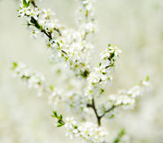 Spring blossom. Small white flowers on branches Royalty Free Stock Images