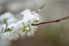 Spring Blossom In Snow Stock Photos