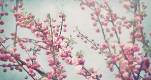 Spring blossom soft pink flowers on vintage blue background Stock Photos