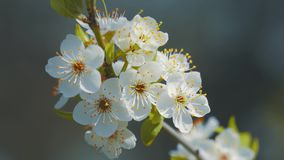 Spring blossom. Sprig of flowering trees on blurred background stock footage