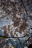 Spring blossom and Sun Royalty Free Stock Photography