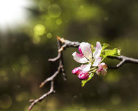 Spring blossom with sunrays Stock Images