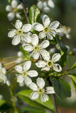 Spring blossom to cherries in garden Stock Images
