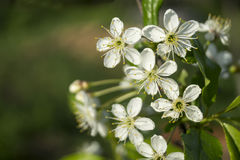 Spring blossom to cherries in garden Stock Photos