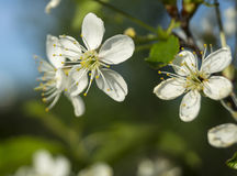 Spring blossom to cherries in garden. On beautiful washed away background Royalty Free Stock Photography