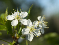 Spring blossom to cherries in garden Royalty Free Stock Photography