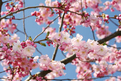Spring blossom tree. Pink bloom blossom blue sky spring season nature beauty Stock Images