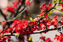 Spring blossom on a tree Royalty Free Stock Photos