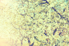 Spring Blossom tree flowers in sunlight Royalty Free Stock Photo