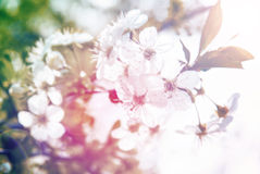 Spring Blossom tree flowers in sunlight Stock Images