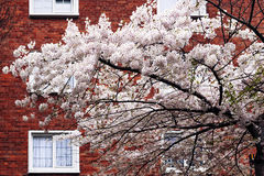 Spring blossom tree in front of house facade in Dublin Royalty Free Stock Photos