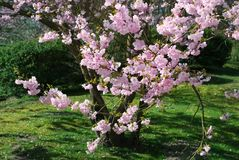 Spring blossom tree. In the garden royalty free stock images