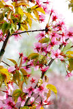 Spring blossom tree-Japanese cherry. Royalty Free Stock Photo