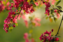 Spring blossom. Tree in the park during sunset Royalty Free Stock Image