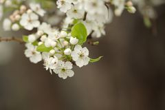 Spring Blossom on the Tree. Springtime blossoms, blossoming on the tree Royalty Free Stock Photo