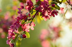 Spring blossom. Tree in the  during sunset Royalty Free Stock Image