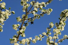 Spring blossom. Spring tree in blossom under the blue sky stock image