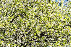 Spring Blossom Tree White Flowers Royalty Free Stock Image