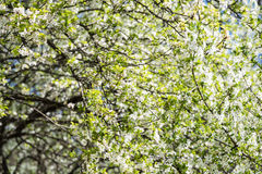 Spring Blossom Tree White Flowers Stock Photography