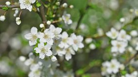 Spring Blossom Tree And White Flowers stock video