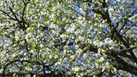 Spring Blossom Tree And White Flowers. Spring Blossom Tree Branches With White Flowers stock video