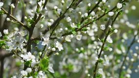 Spring Blossom Tree And White Flowers. Spring Blossom Tree Branches With White Flowers stock video footage