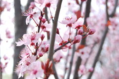 Spring Blossom Trees. Blooms. Spring Blossom Trees. Pink cherry Flower Blooms royalty free stock photo