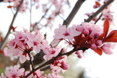 Spring Blossom Trees. Blooms. Spring Blossom Trees. Pink Cherry Flower Blooms stock photo