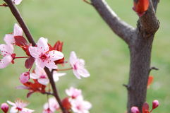 Spring Blossom Trees. Blooms. Spring Blossom Trees. Pink Flower Blooms royalty free stock photos
