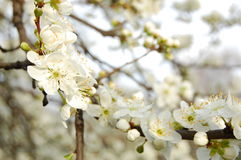 Spring Blossom Trees. Blooms. Spring Blossom Trees. White plum Flower Blooms royalty free stock images