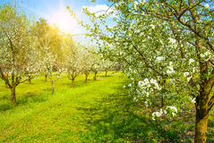 Spring Blossom trees in sunlight Royalty Free Stock Photos