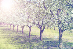Spring Blossom trees in sunlight Royalty Free Stock Photography