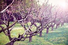 Spring Blossom trees in sunlight Stock Image