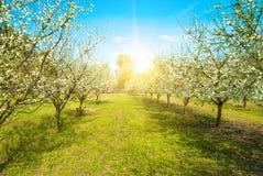 Spring Blossom trees in sunlight Stock Photos
