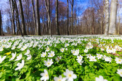 Spring blossom. White carpet in the forest,beautiful spring flowers landscape Stock Images