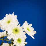Spring blossom. White flowers. Royalty Free Stock Images
