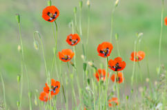 Spring blossom of wild poppies. With seeds stock photos